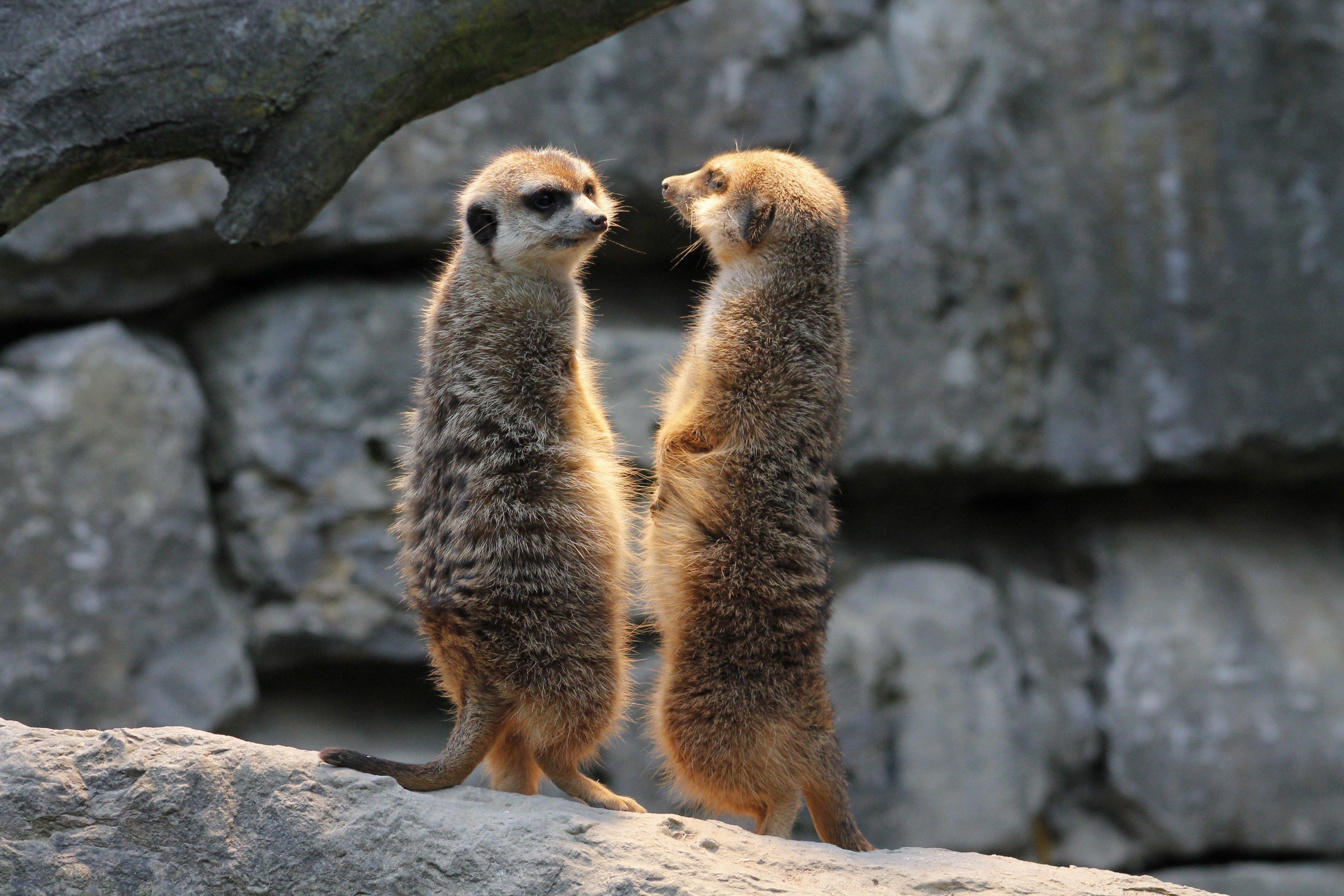 meerkat-417724
